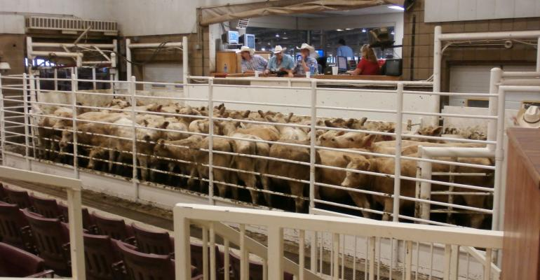 Sale barn calves