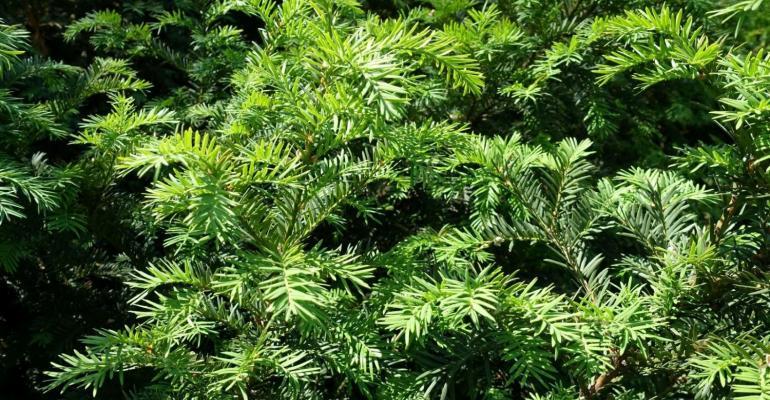 7-07-21 yew bush ii (2).jpg