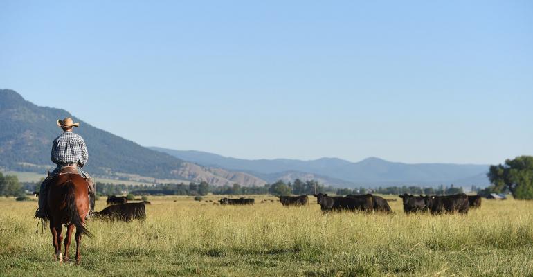 Cows at Thomas Angus Ranch