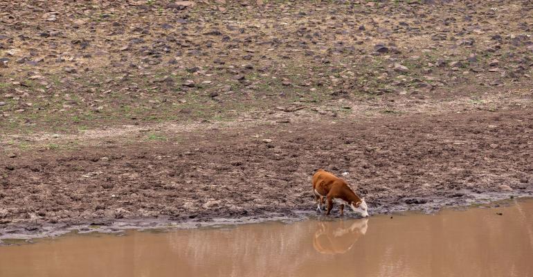 8-10-21 cattle wildfirejpg.jpg
