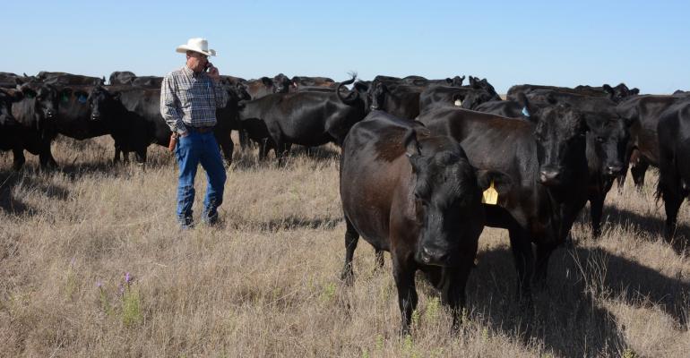 Grass-efficient cows