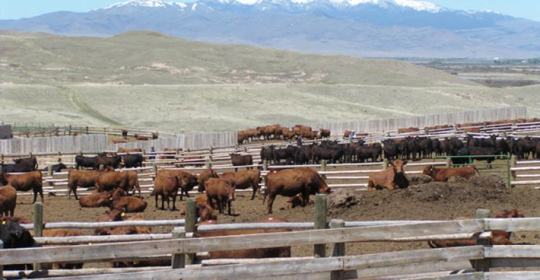 Cattle of feed