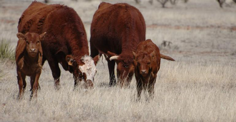 Cows on early spring grass may need supplementation