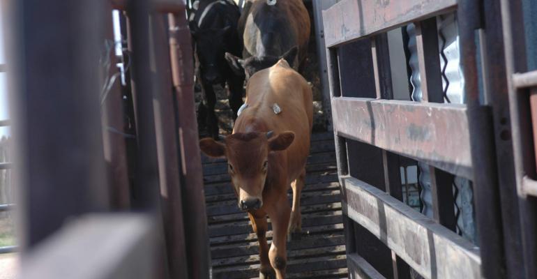 High-risk calves