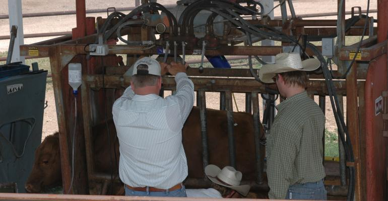working calves in a chute