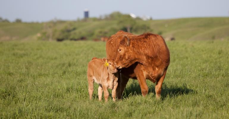 Boehringer-Calf-cow-grazing-field-vaccine-colostrum
