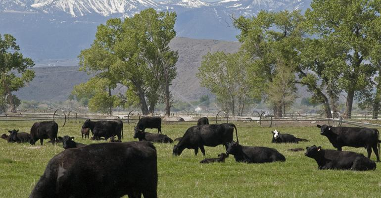 Cattle Grazing Main Station nevada.jpg