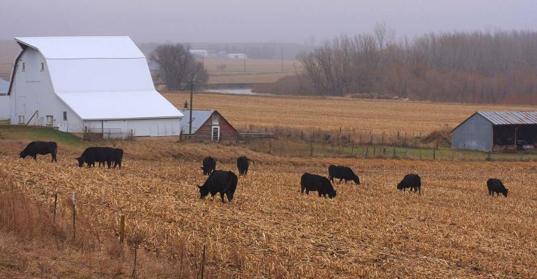 These Angus cattle are foraging in cornstalks in this field in western Iowa.