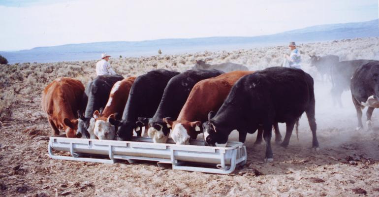 Cows at a feed bunk