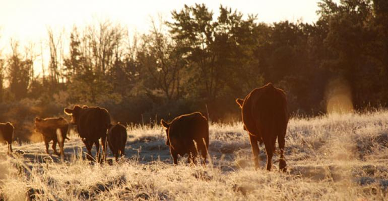 Cows on frost covered pasture