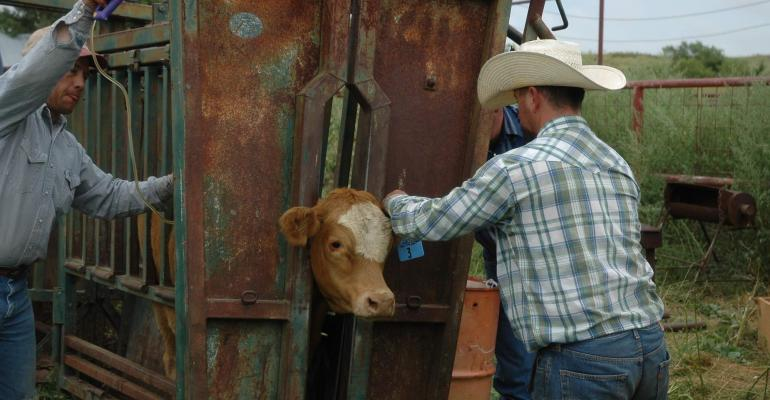 tagging cattle