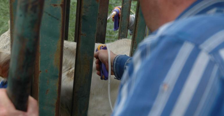 vaccinating calves