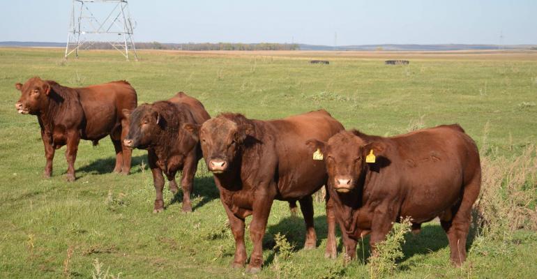 Yearling bulls