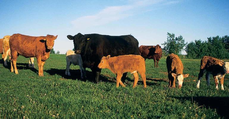 Healthy cattle in a field