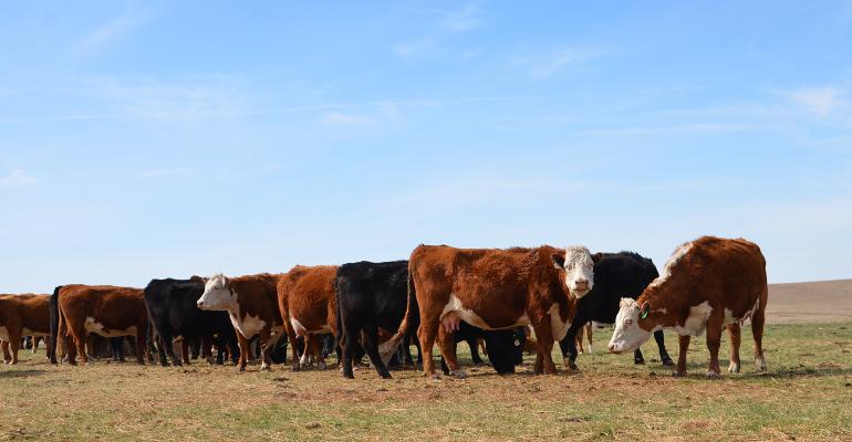 South Dakota beef cattle