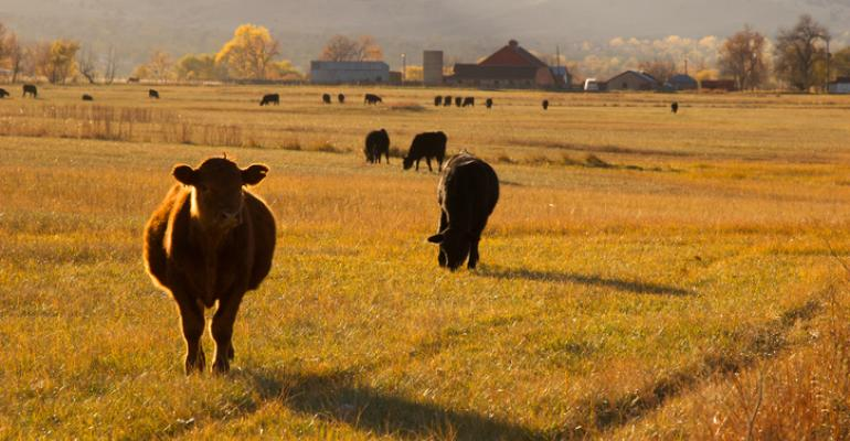Cattle on fall pasture