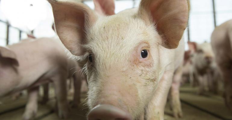 Feeder Pig, Close Up.jpg