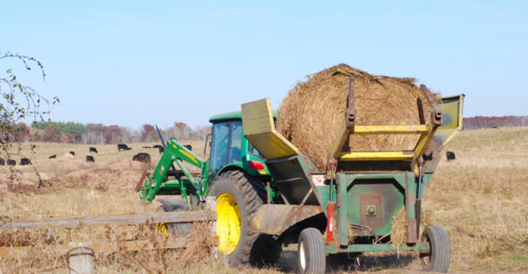 Feeding cattle hay