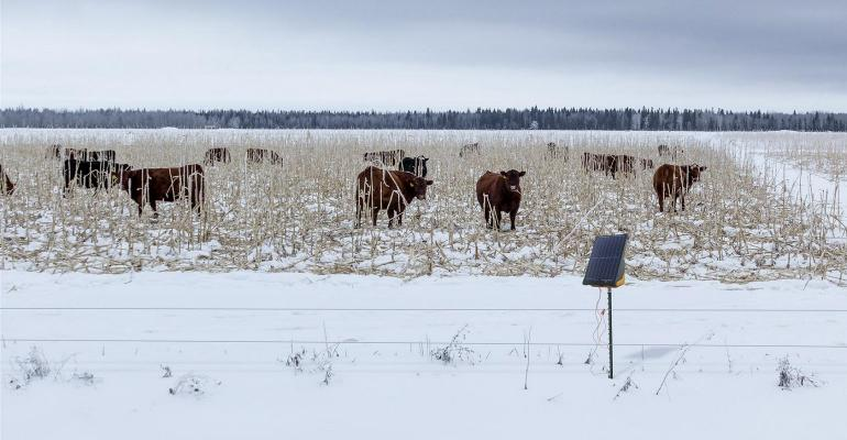 Gallagher-electric-fence-cows-grazing-field-winter