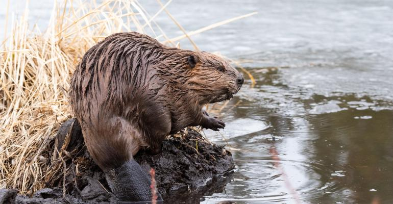 Beavers are some of nature's best engineers