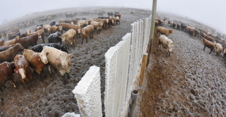 Winter feedlot cattle