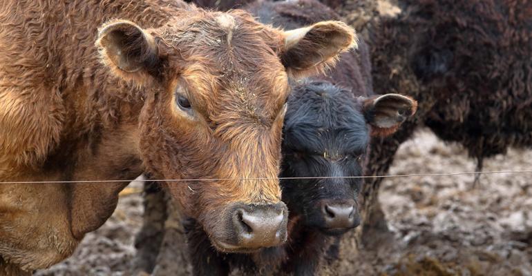 Cows on mud