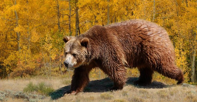 Grizzly bear - GettyImages695736858.jpg