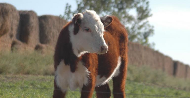 Hereford calf in spring