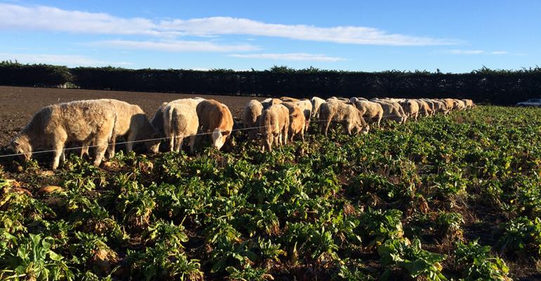 Cattle grazing beet fodder