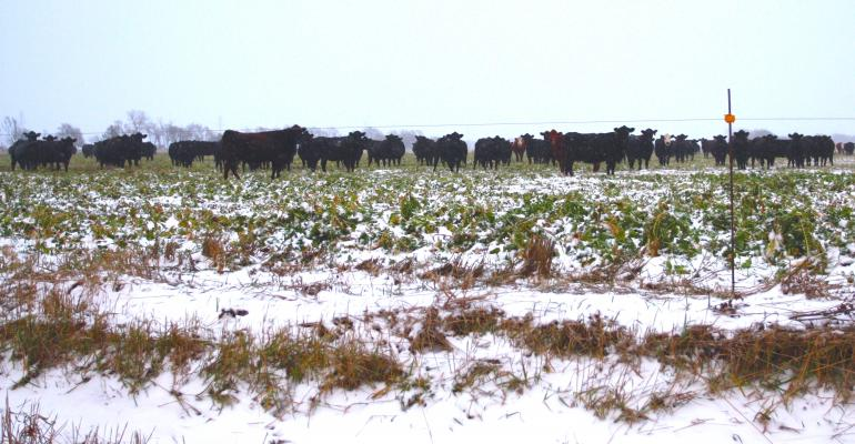 Cattle on Cover Crops