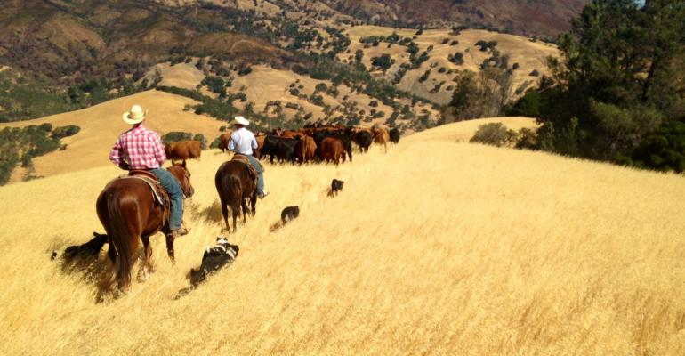 Ranchers moving cattle