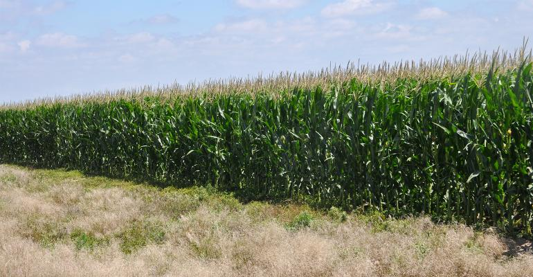 Field of Corn, full grown with tassels.