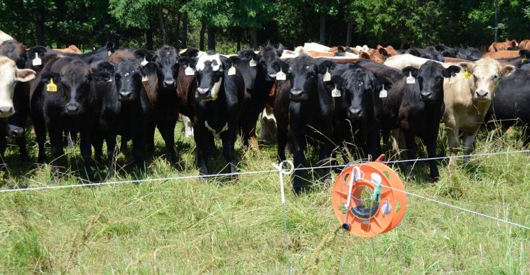 Cattle behind electric fence