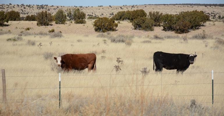 Cows in New Mexico pasture