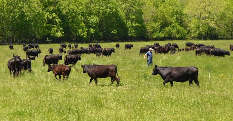 Moving cattle to a fresh paddock