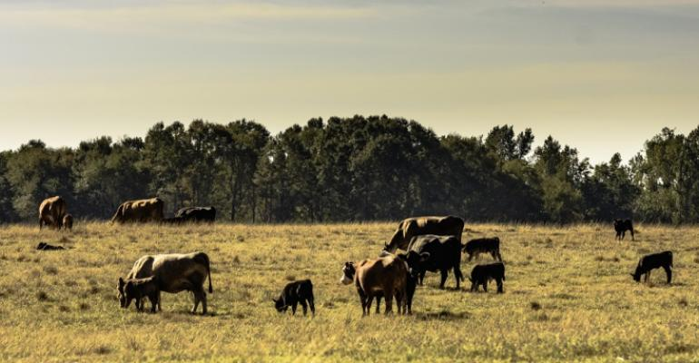Cows and calves on droughty pasture