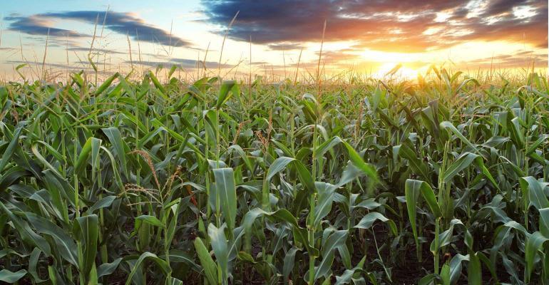 Corn field tasseled