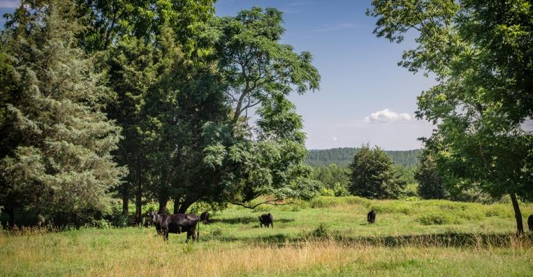 cattle on pasture