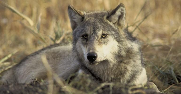 gray wolf sitting in grass