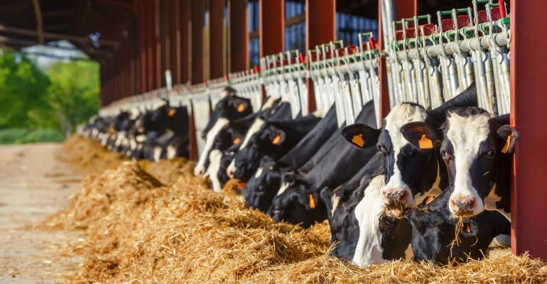 Holstein dairy cows eating at feed bunk