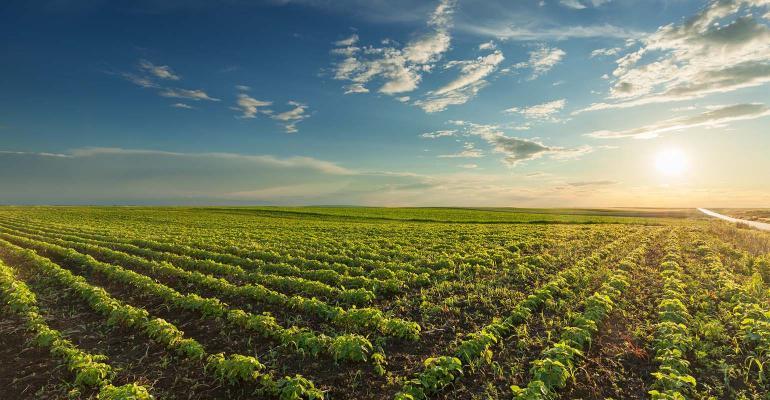 Soybean Field Sunset