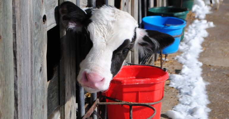young calf in stall