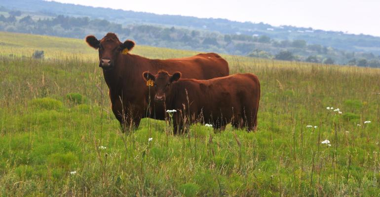 Cow and calf in field