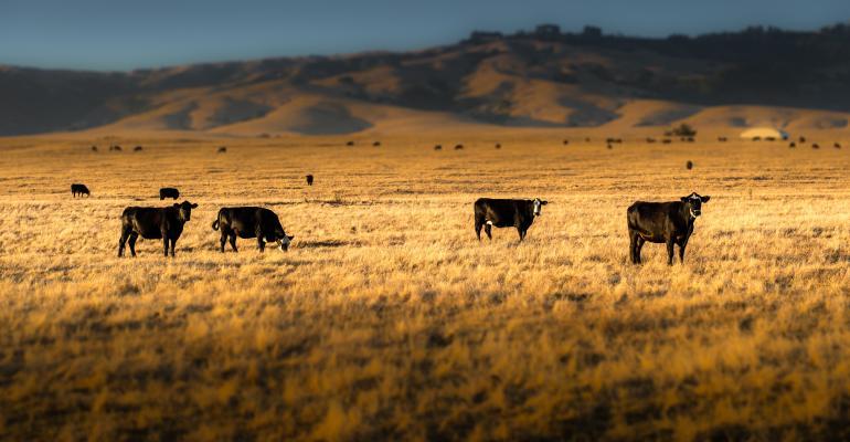 cattle on range