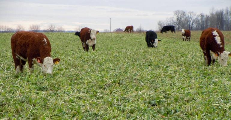 Beef cattle in a field grazing cover crops.