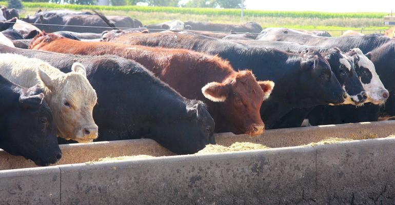 beef cattle at feed bunk