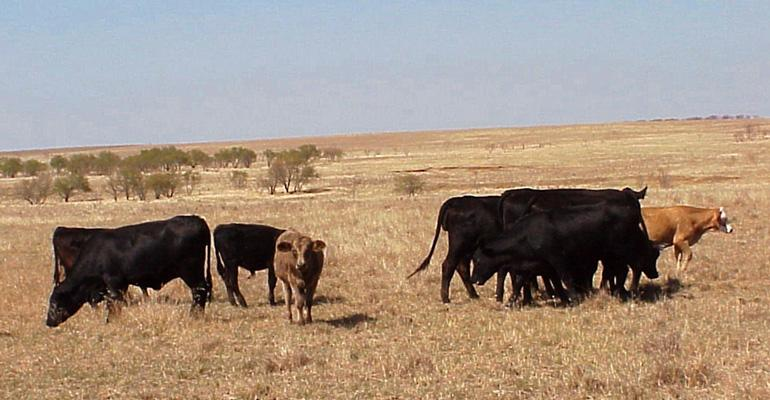 cattle-drought 2