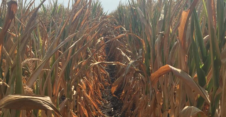 Corn in this Wapello County field in southeast Iowa was turning yellow