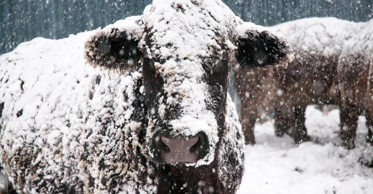 cattle in winter with snow on them