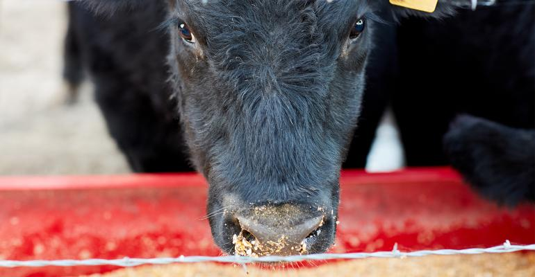 black cow face at feed trough
